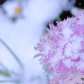 写真: ハボタン 凍雪