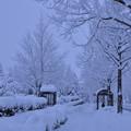 写真: 雪のバス停とメタセコイアの並木道