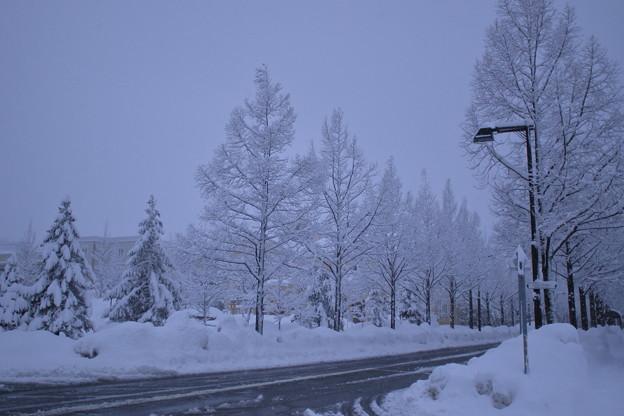 雪降る メタセコイアの並木道
