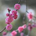 兼六園  梅が開花(1)