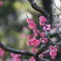 写真: 鹿児島紅梅