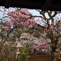 Photos: 舟の御亭から  摩耶紅