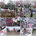 Photos: 兼六園 梅林