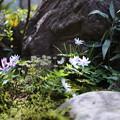 写真: 庭の山野草