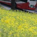 菜の花と桜  バス