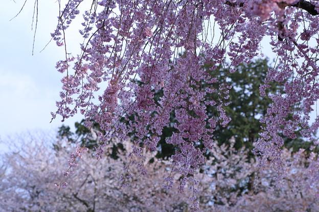 枝垂れ桜(1) 風に吹かれて