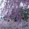 Photos: 枝垂れ桜(1) 風に吹かれて