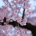 Photos: 枝垂れ桜(2)