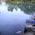 霞ヶ池 鯉(1)