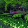 新緑の兼六園 ライトアップ カキツバタとツツジ