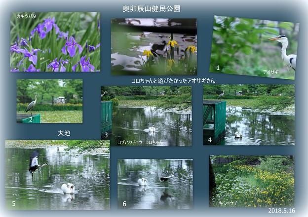 白鳥(コロちゃん)と遊びたかったアオサギさん(4)