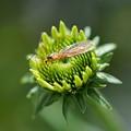 エキナセア 虫