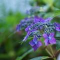 写真: ヤマアジサイ 藍姫(2)