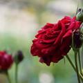 写真: 赤い薔薇(2)