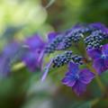写真: ヤマアジサイ 藍姫