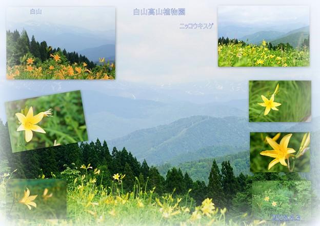Photos: 白山高山植物園 ニッコウキスゲ
