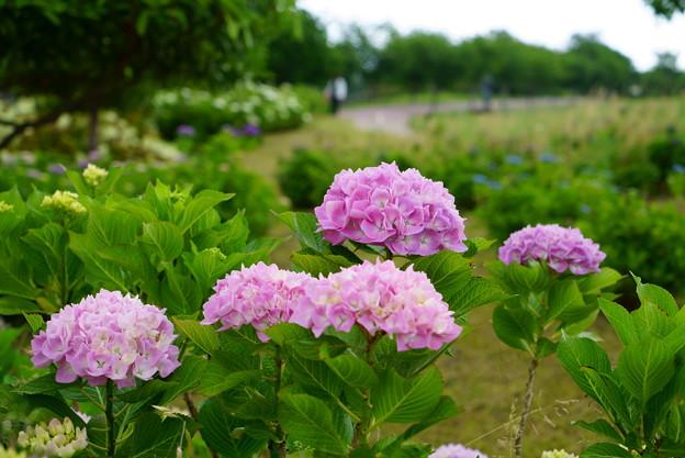 手毬紫陽花 ピンク