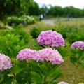 写真: 手毬紫陽花 ピンク