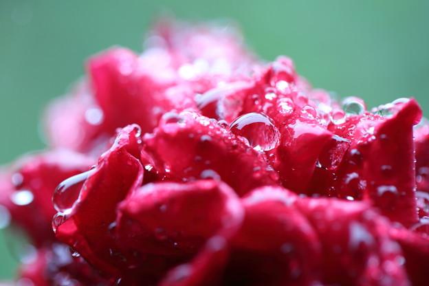 真紅のバラのしずく