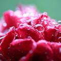 写真: 真紅のバラのしずく