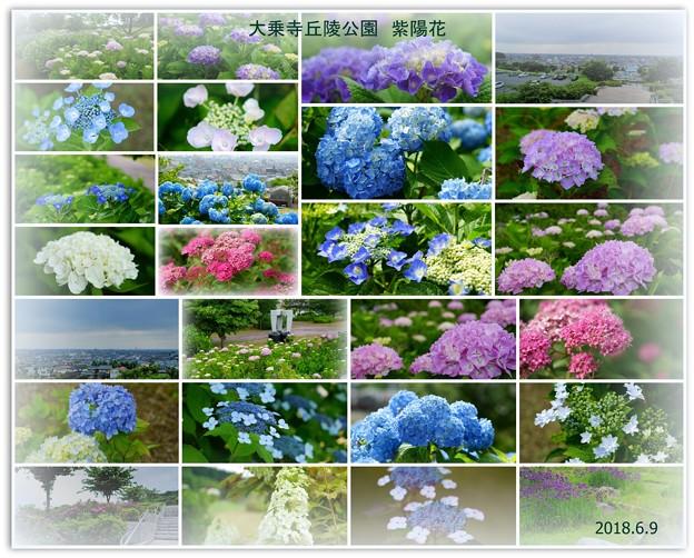Photos: 大乗寺丘陵公園 紫陽花