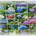 写真: 大乗寺丘陵公園 紫陽花