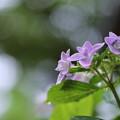 写真: 紫陽花 コンペイトウ