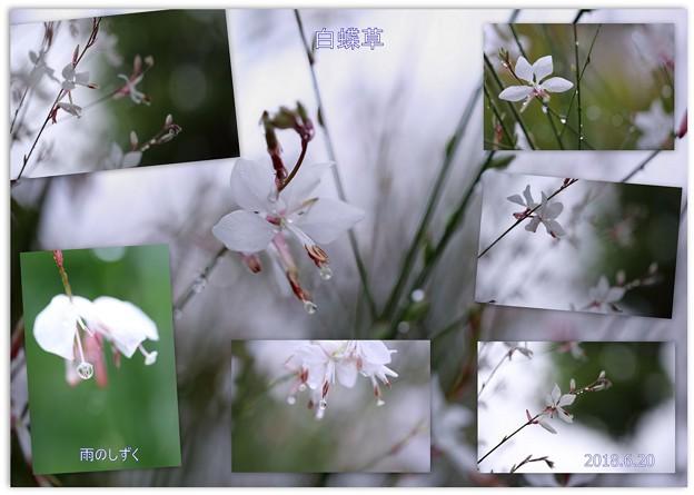 白蝶草としずく