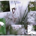 写真: 白蝶草としずく