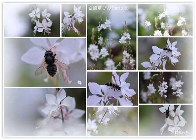 白蝶草と蜂