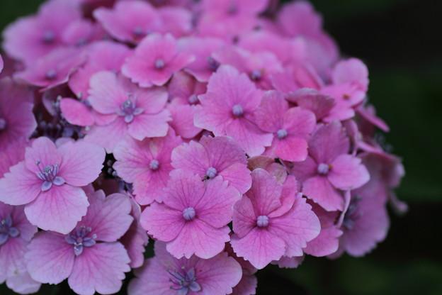 桜のようなピンクの紫陽花