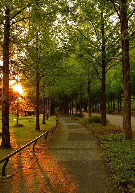 夕日とメタセコイアの並木道