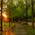 写真: 夕日とメタセコイアの並木道