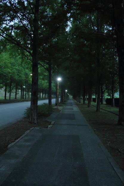 夕暮れのメタセコイアの並木道