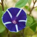 写真: ブルーのアサガオ