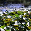 写真: スイレンの池(1)