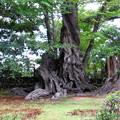 写真: 桂の木