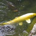 写真: 金色の鯉