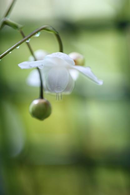 レンゲショウマが開花(1)