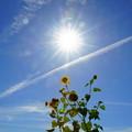 写真: ひまわりと太陽 飛行機雲