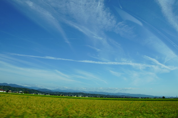 Photos: 飛行機雲と収穫間近の稲