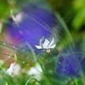 写真: 白蝶草      蝶のように