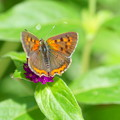 写真: ベニシジミ  (表の翅)