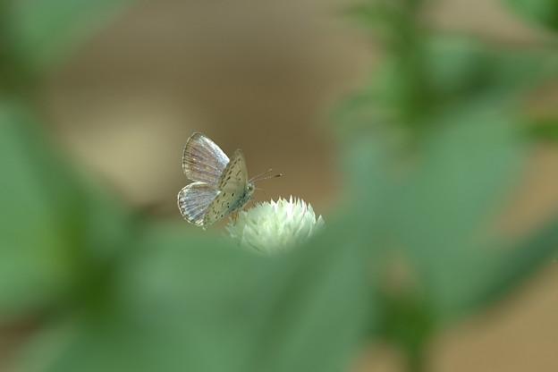 ヤマトシジミ(1)