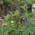 秋の庭 アメジストセージと百日草
