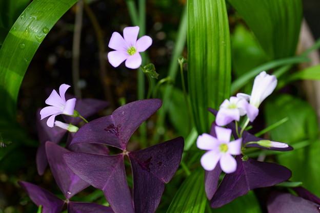 オキザリス トリアングラリス(紫の舞)