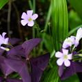 写真: オキザリス トリアングラリス(紫の舞)