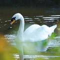 写真: 白鳥(1)
