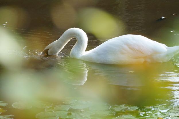 白鳥(2)