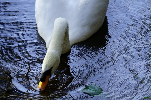 白鳥(4)